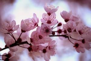 Kuva sakura